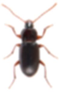 Pterostichus longicollis 1.jpg