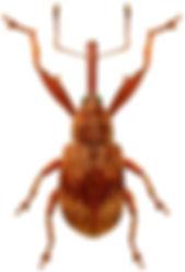 Furcipus rectirostris.jpg