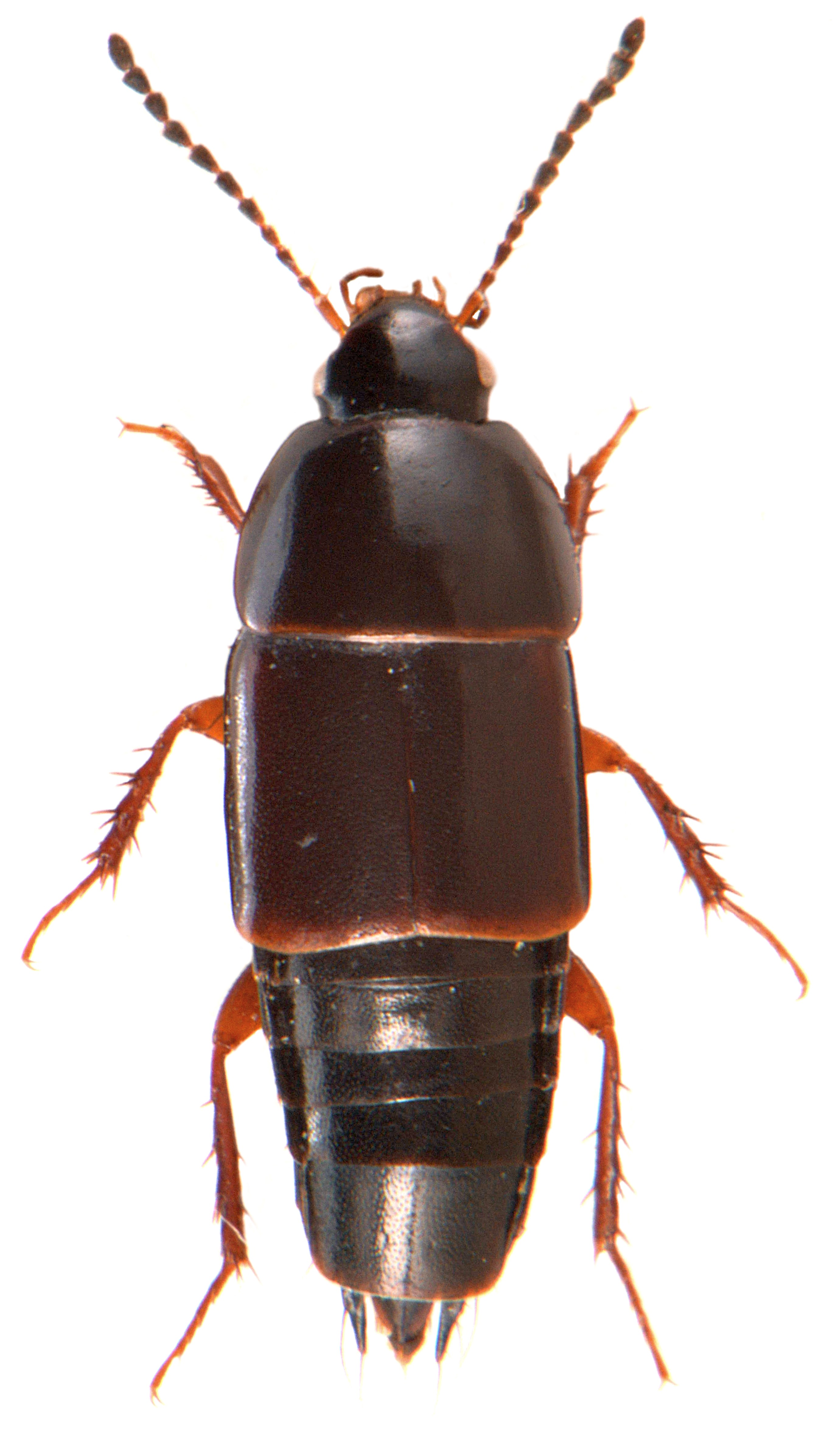 Tachinus rufipes 1