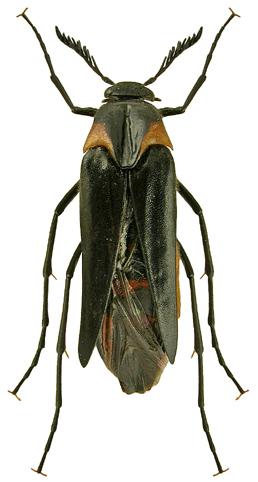 Metoecus paradoxus