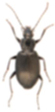 Platynus assimilis 4.jpg