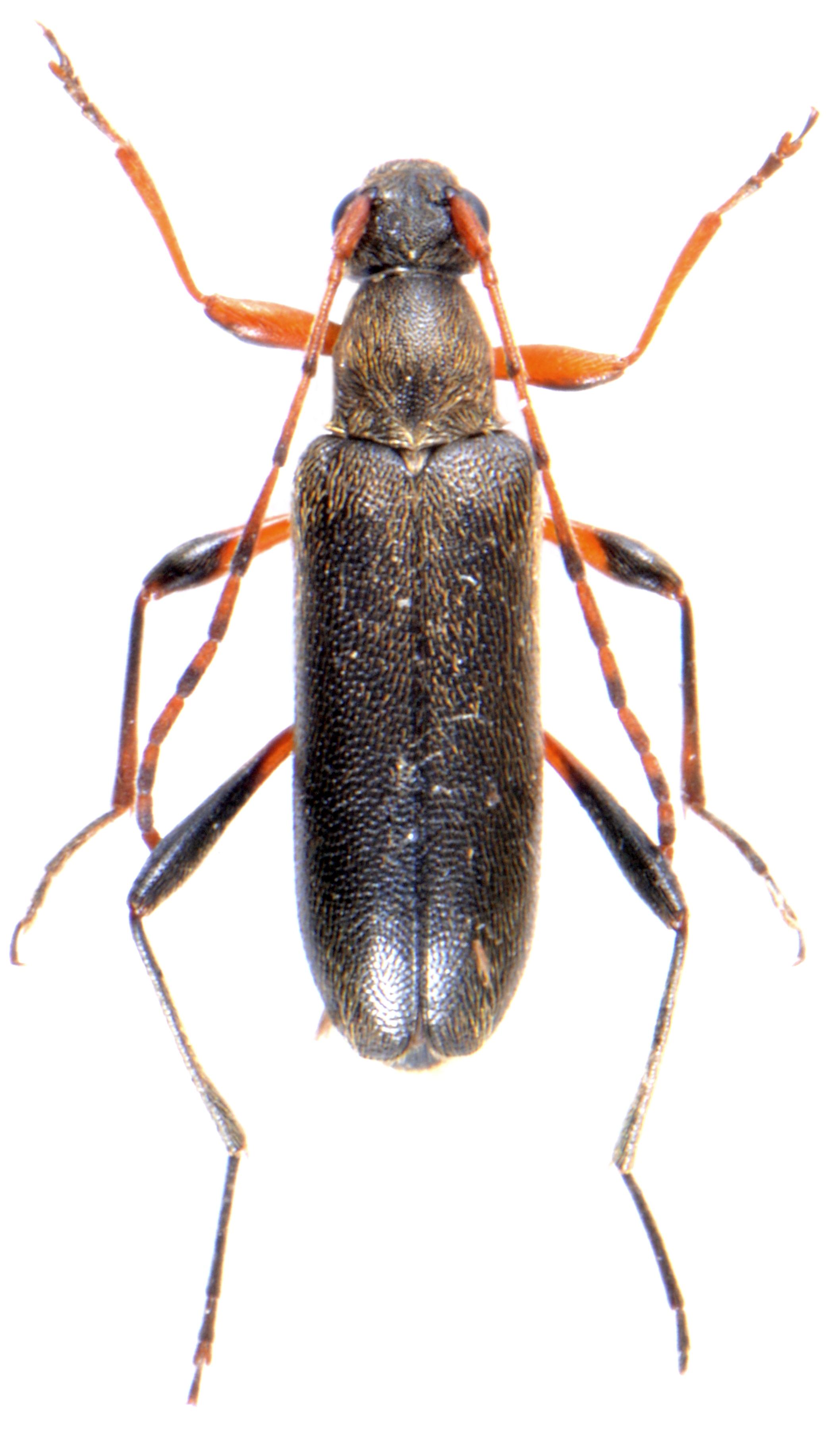 Grammoptera ruficornis 3