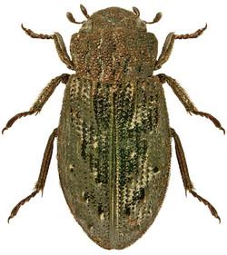 H. (Cyphelophorus) tuberculatus
