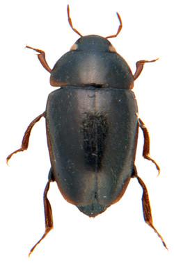 Limnebius truncatellus 2