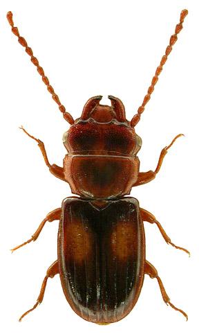 Laemophloeus monilis