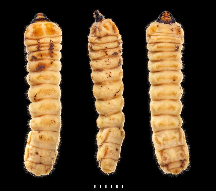 Acanthocinus aedilis larva