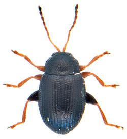 Epitrix pubescens 2