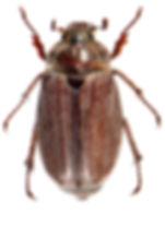 Melolontha hippocastani 2.jpg