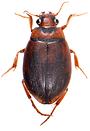 Hygrobia hermanni 6.png
