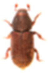 Hylastinus obscurus 1.jpg