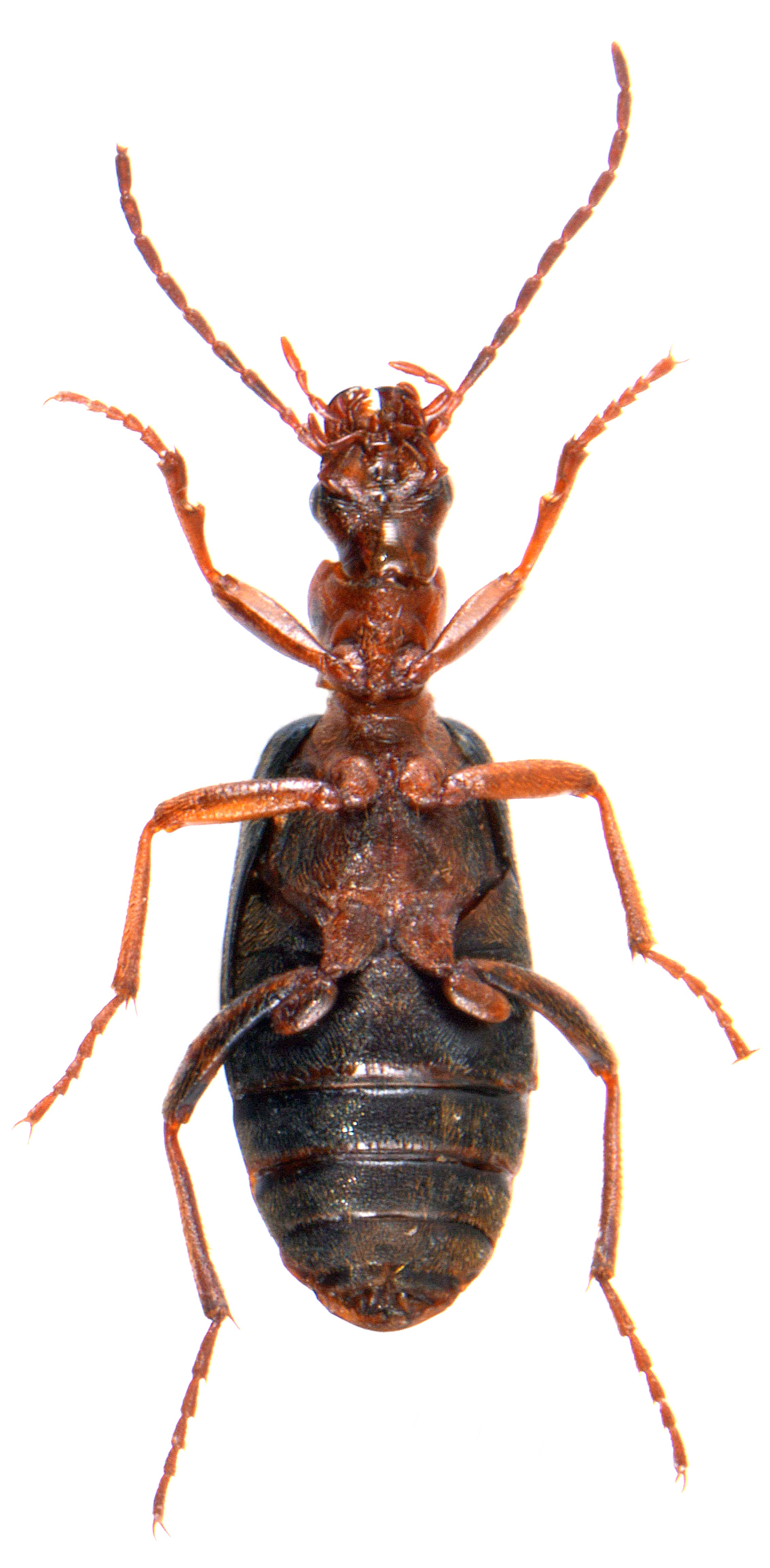 Brachinus crepitans 3