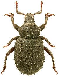 Trachyphloeus spinimanus.jpg