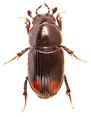 Phalacronothus quadrimaculatus 1.jpg