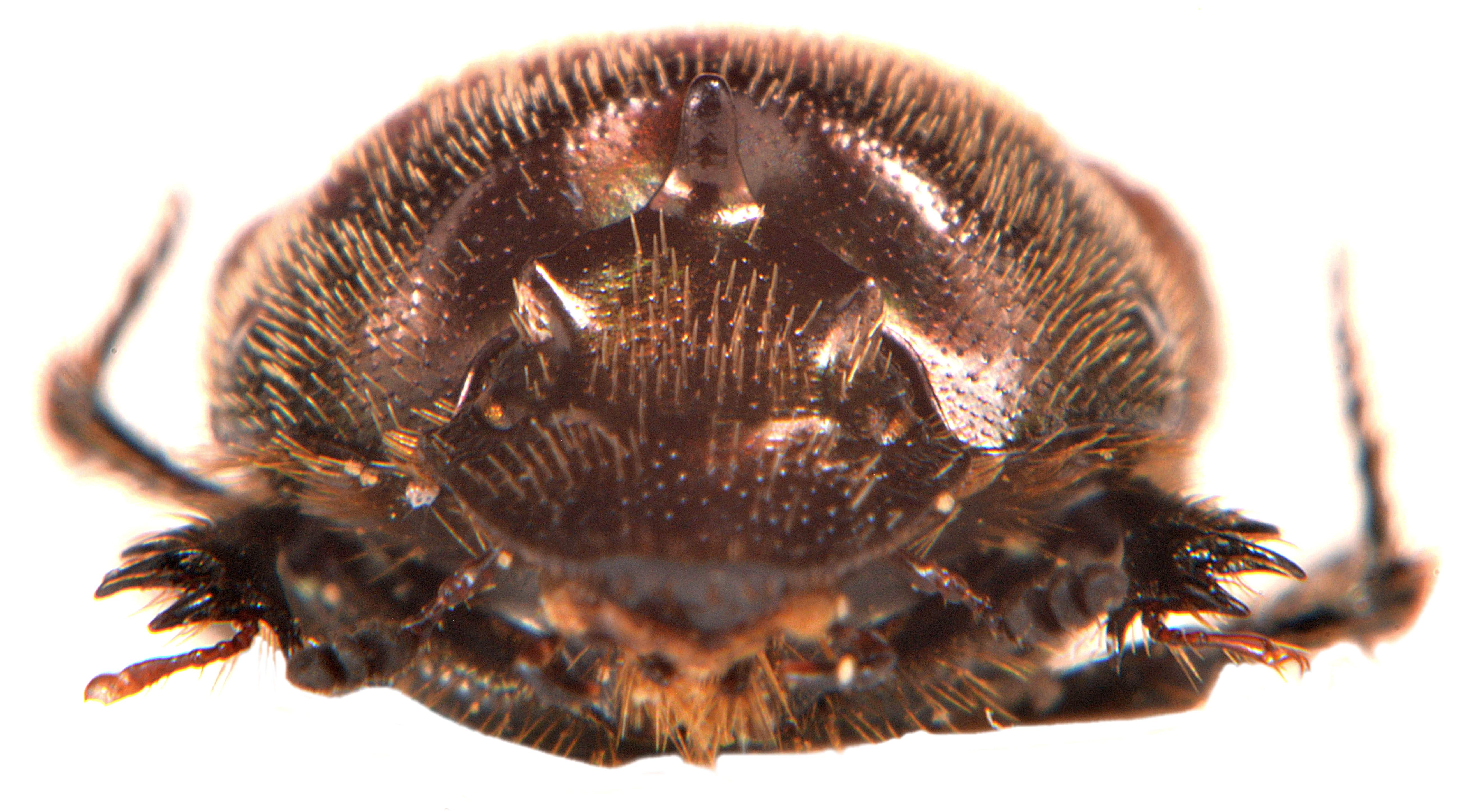 Onthophagus fracticornis 5