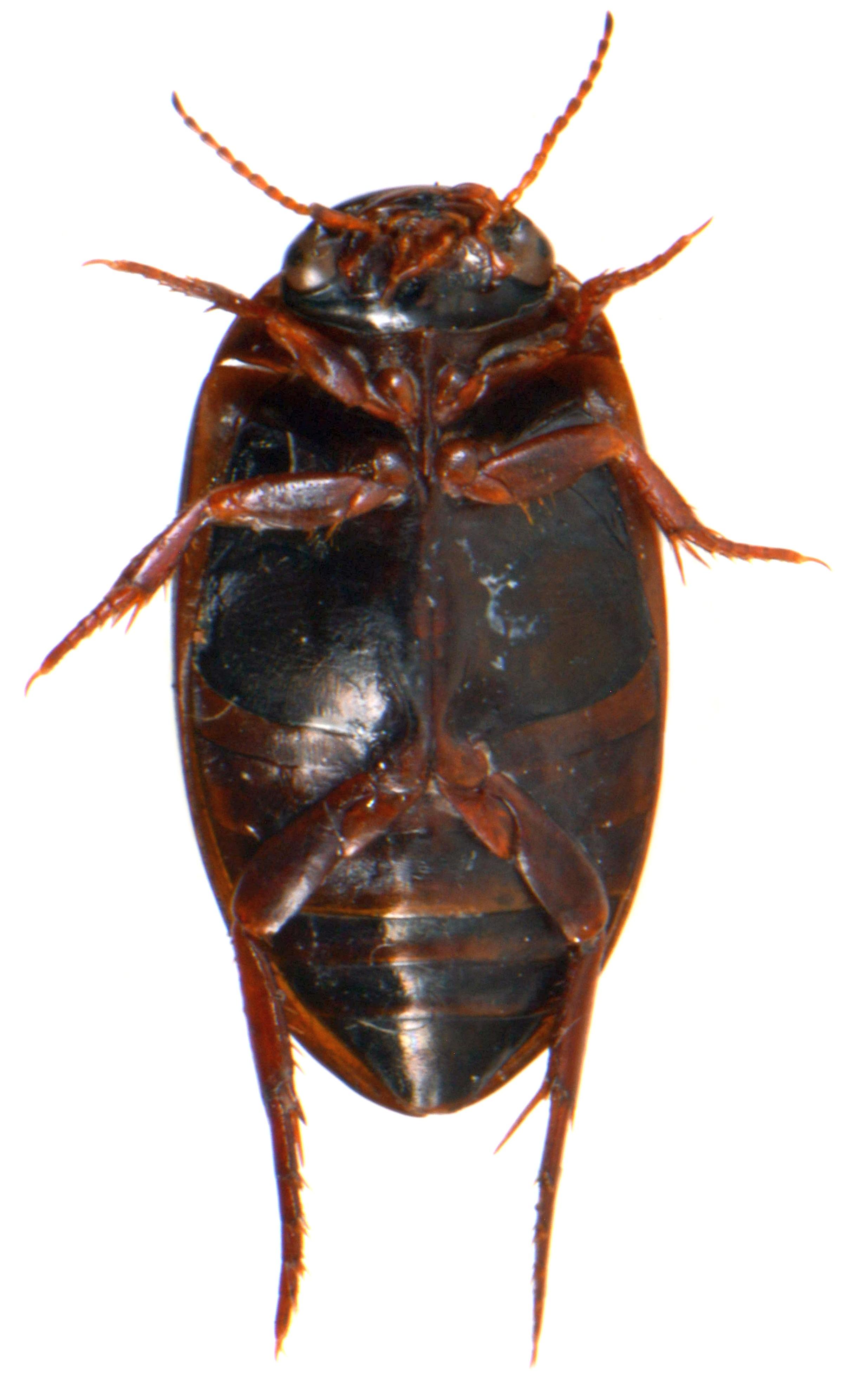 Ilybius montanus 4