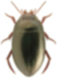 Agabus unguicularis.jpg
