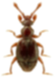Bythinus macropalpus.jpg