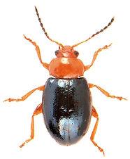 Podagrica fuscicornis.jpg