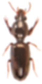 Dyschirius politus.jpg