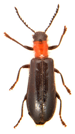 Tillus elongatus 1