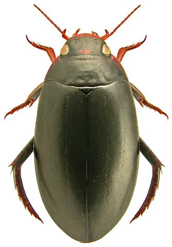 Rhantus grapii