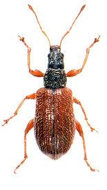 Phyllobius oblongus 3.jpg