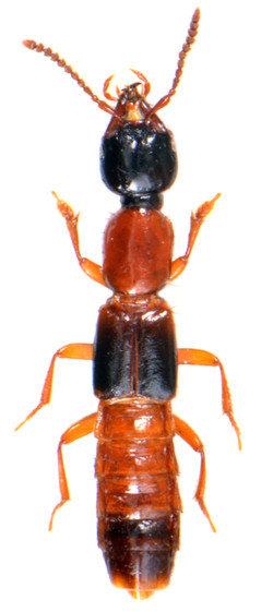 Atrecus affinis 2