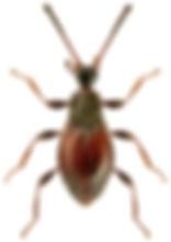 Euconnus rutilipennis.jpg