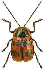Cryptocephalus sexpunctatus.jpg