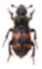Nicrophorus_vestigator1.jpg