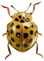 Psyllobora vigintiduopunctata 1lb.jpg