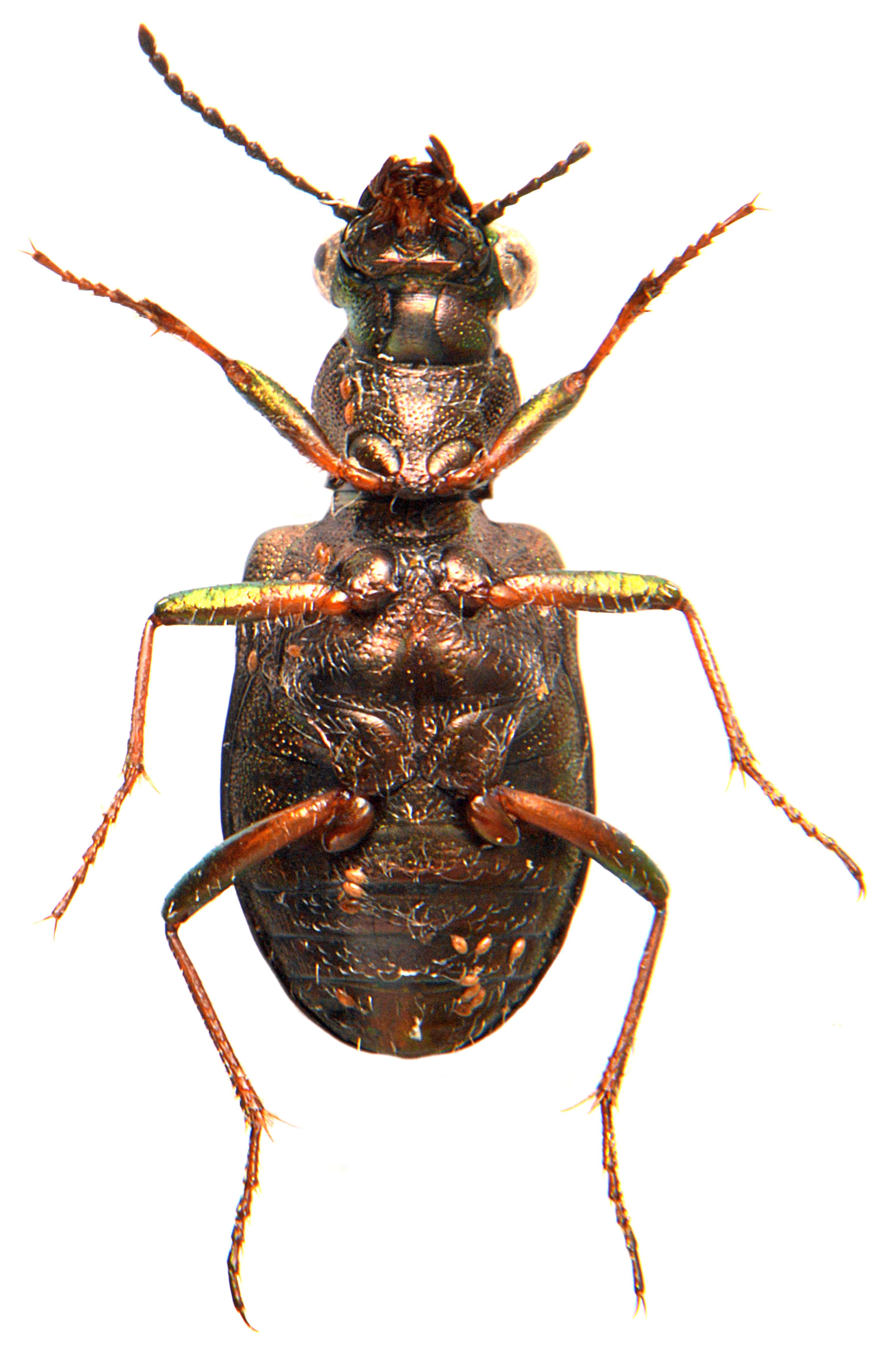 Elaphrus riparius 5