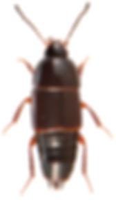 Tachinus rufipes 1.jpg