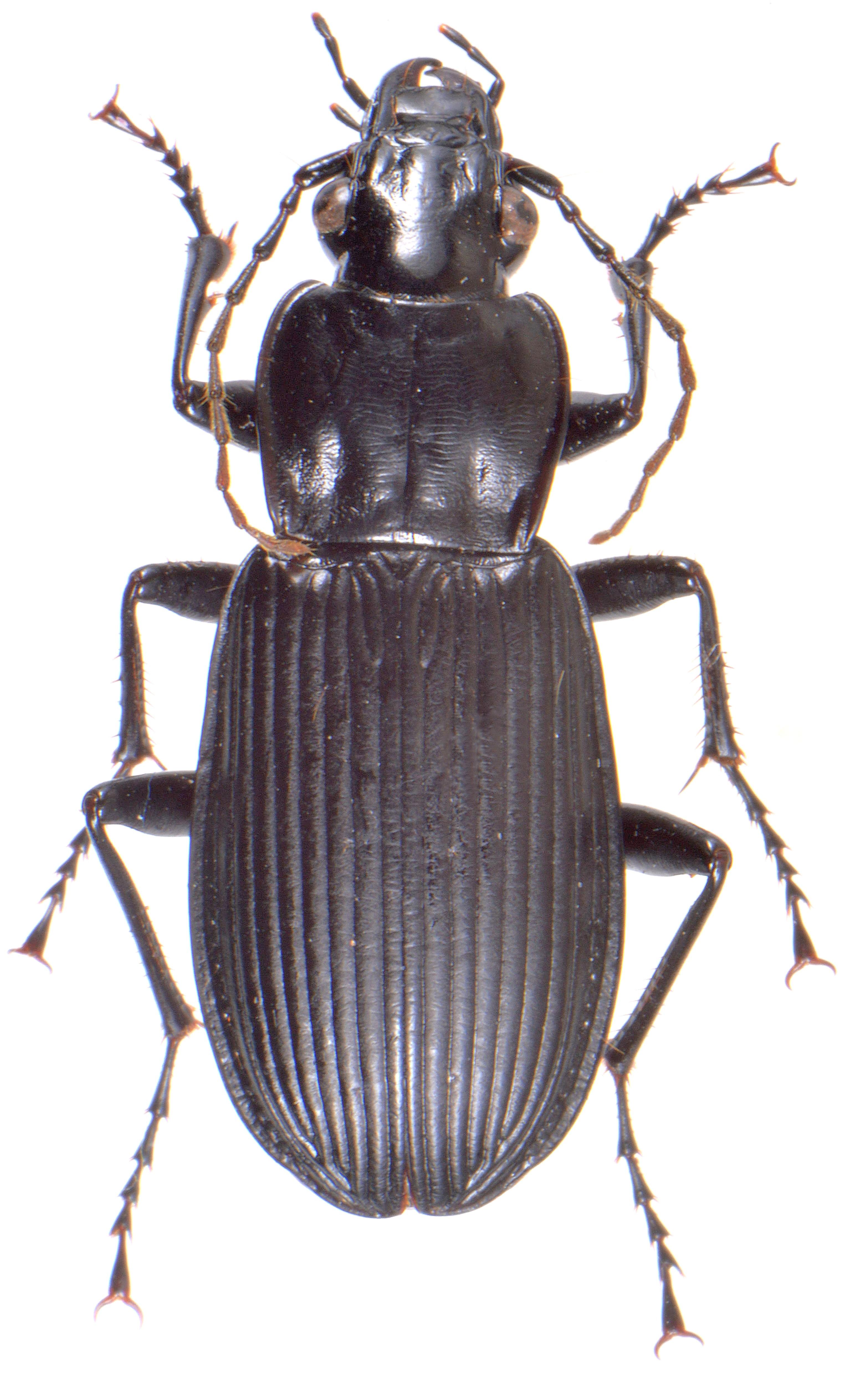 Pterostichus niger 2