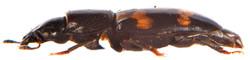 Glischrochilus quadriguttatus 3