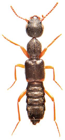 Rugilus orbiculatus 2