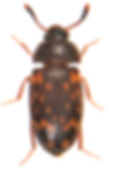 Mycetophagus atomarius 1.jpg