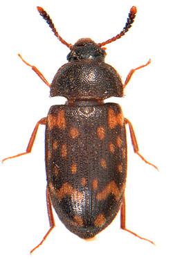 Mycetophagus atomarius 1