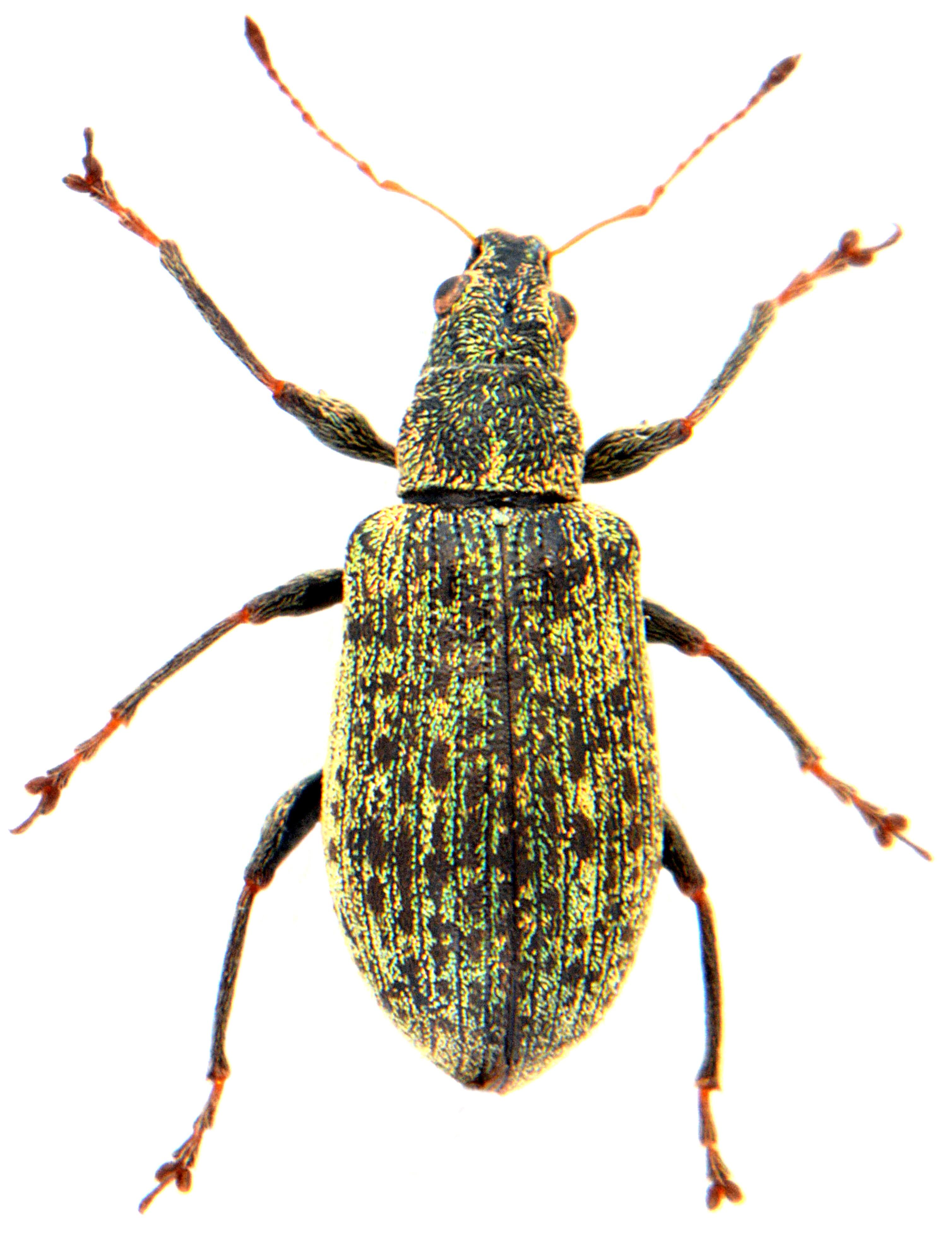 Polydrusus cervinus 1