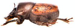 Onthophagus similis 4