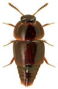 Coproporus immigrans.jpg