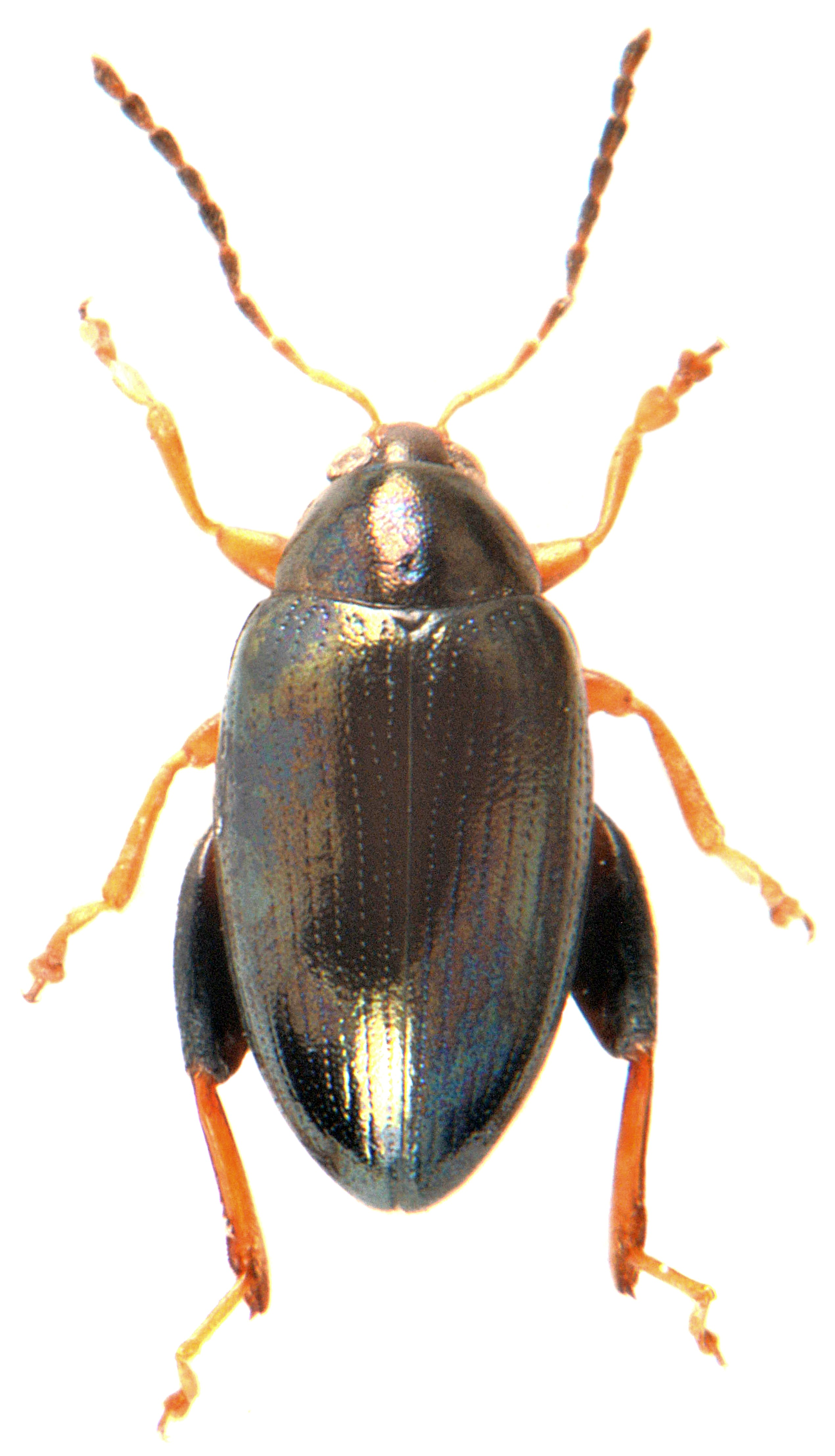 Psylliodes chrysocephala 4