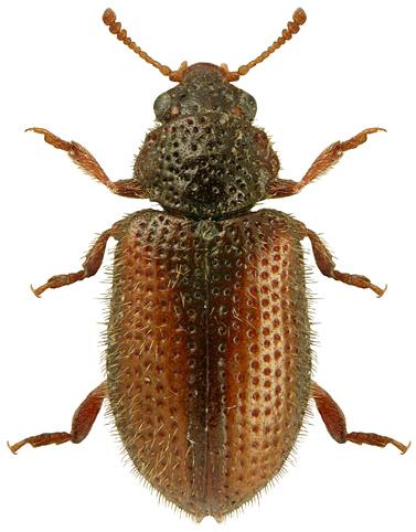 Laricobius erichsoni