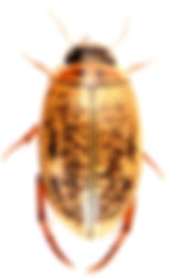 Agabus nebulosus 2.jpg