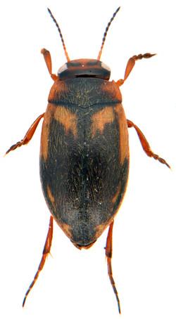 Hydroporus palustris 2