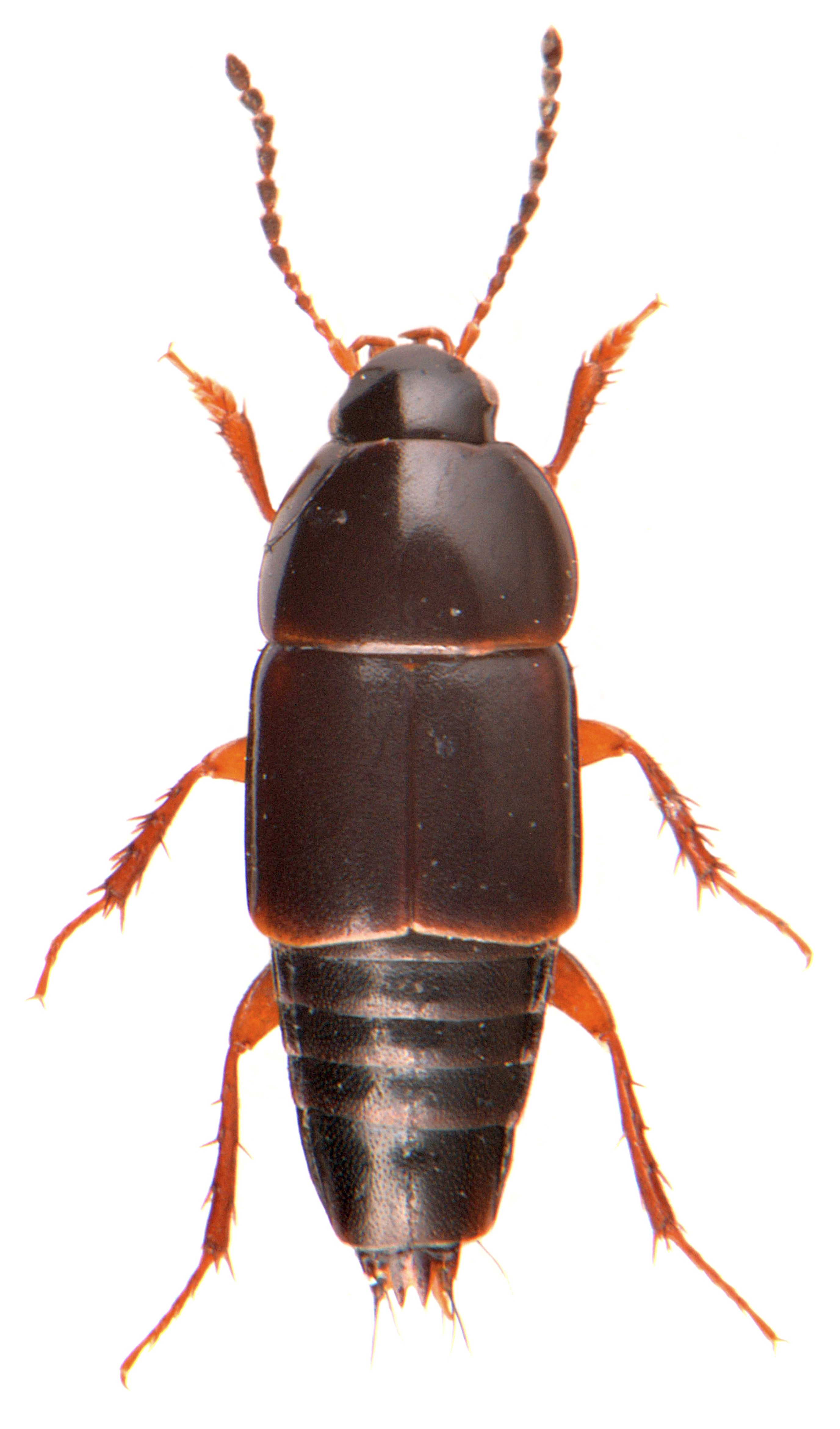 Tachinus rufipes 3