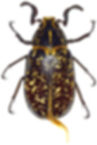 Polyphylla fullo 1.jpg