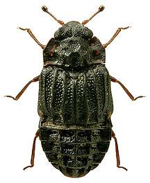 Micropeplus porcatus.jpg