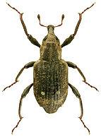 Bagous subcarinatus.jpg