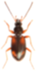 Bembidion fluviatile.jpg